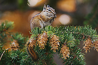 Uinta Chipmunk, Tamias umbrinus, adult eating Fir cone seeds, Rocky Mountain National Park, Colorado, USA, September 2006.                          .