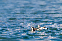 Two Kittlitz's Murrelets swim in the waters of Nellie Juan Lagoon in Prince William Sound. The bird is listed on the critically endangered species list.