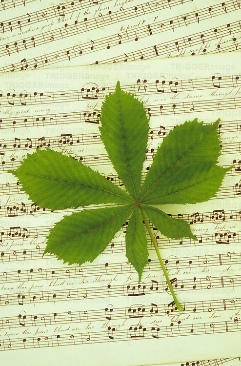 Fresh spring green leaf of Horse Chestnut or Aesculus hippocastanum tree lying on sheet of music with handwritten notation and words of song