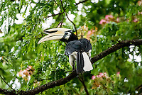 Oriental Pied Hornbill (Anthracoceros albirostris) is a species of hornbill in the Bucerotidae family. It is found in much of the Indian Subcontinent and Southeast Asia, ranging across Bangladesh, Bhutan, Brunei, Cambodia, China, India, Indonesia, Laos, Malaysia, Myanmar, Nepal, Singapore, Thailand, and Vietnam. Its natural habitat is subtropical or tropical moist lowland forests. The Oriental Pied Hornbill's diet includes rambutans.