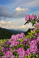 Catawba Rhododendron from just below Newfound Gap, Great Smoky Mountains National Park, North Carolina