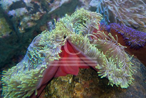 Sydney, Australia. Sea creature with tentacles.