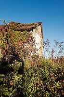 Abandoned shack with pokeweed growing wild.