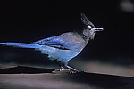 A Steller's Jay on a picnic table in a Montana campground