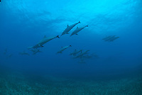 Pod of Hawaiian spinner dolphins,south side Maui hawaii.This cetaceans can jump up to 10 feet out of the water.