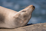 La Jolla, California; a dry, furry, California sea lion laying on the rocky shoreline in the late afternoon sunlight