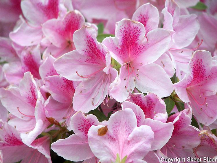 Azaela blossoms