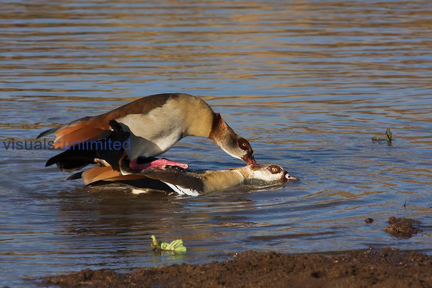 Egyptian Geese (Alopochen aegyptiacus) mating in water, Maasai Mara National Reserve, Kenya.