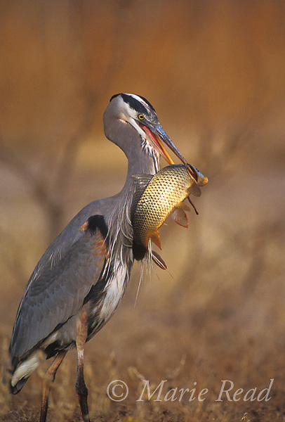 Great Blue Heron (Ardea herodias) just captured a large fish,<br /> Bosque Del Apache NWR, New Mexico, USA.<br /> Slide # B17-288