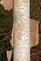 Himalayan Birch Betula utilis (Betulaceae) HEIGHT to 20m<br /> An elegant tree, rather rounded in specimens found growing in the open. BARK Extremely colourful, gleaming white in var. jacquemontii but pink, red or golden in other forms. The bark is marked with horizontal lenticels and it peels off horizontally into rolls. BRANCHES Mainly upright rather than spreading, with twigs that are hairy when young. LEAVES Oval, with a pointed tip and toothed margins; dark green with 7-14 pairs of veins depending on the variety. REPRODUCTIVE PARTS Catkins, long, pendulous and yellow in the case of males. STATUS AND DISTRIBUTION A native of the Himalayas. Planted here as an ornamental tree, grown mainly for its stunning bark, which is particularly striking and evident on a sunny winter's day.