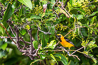 Bolsero dorso rallado o Icterus Pustulatus (NombreCientifico) con distribuci&oacute;n en el Oeste de  Mexico, es rar&iacute;simo en Arizona. Se reproduce en la Selva baja con nidos en forma del bolsa. <br /> <br /> ****<br /> Reserva Monte Mojino (ReMM) de la Natural Culture International (NCI)<br /> <br /> Credito:LuisGutierrez