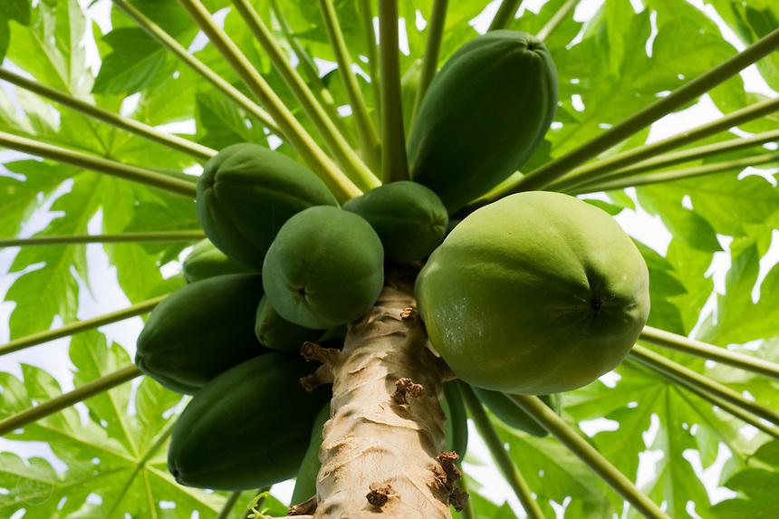 Papaya (Carica papaya) tree with green fruit, Jaluit, Marshall Islands