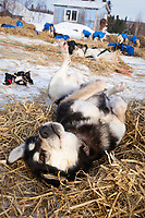 Robert Nelson's dog *Sydney* scratches her back on the freshly layed straw shortly after their arrival at Shageluk checkpoint during Iditarod 2009