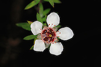 A Manuka flower<br /> In traditional medicine the Manuka tree is used in its entirety. The leaves and bark are used for fevers and urinary problems; inhalation of boiled leaves treats head colds. Manuka acts as a diuretic, a sedative, against mastitis and to help heal fractures. The bark is also used to alleviate constipation; chewing the capsules helps diarrhea, inflammation and dysentery.