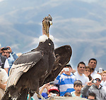 Andean Condor being liberated, Tafi del Valle,Argentina.