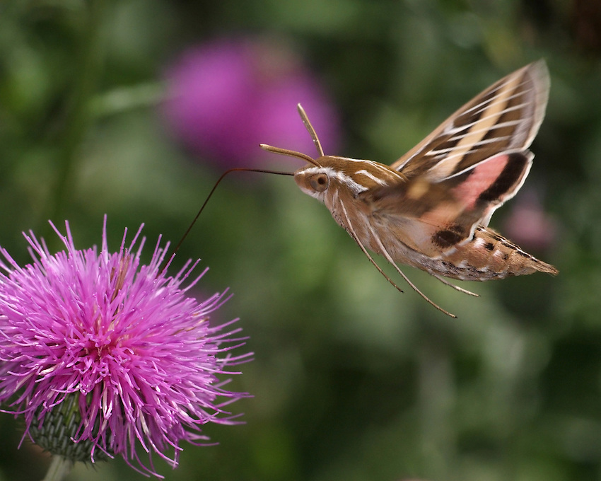 The Sphinx or &quot;Hummingbird Moth&quot; lets you know when it's near, it has almost the same sound/pitch as an actual hummingbird.<br />