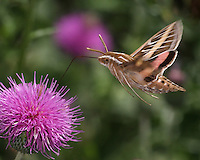 The Sphinx or &quot;Hummingbird Moth&quot; lets you know when it's near, it has almost the same sound/pitch as an actual hummingbird.<br /> The sound is loudest as it flies, less so at hover.