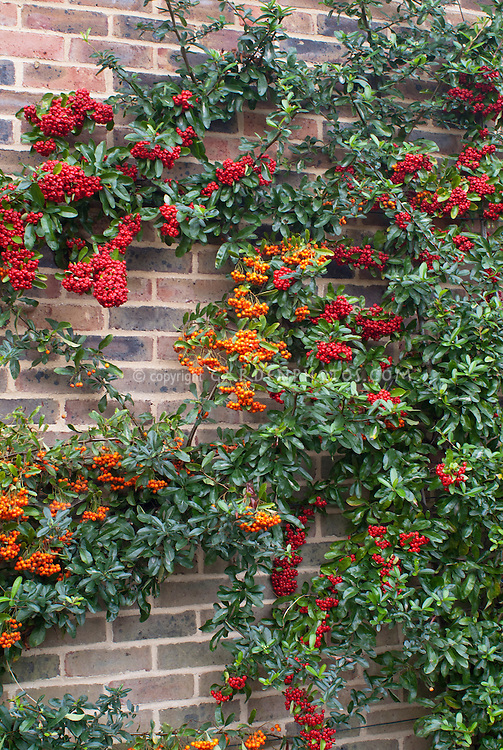 Two firethorn vines on brick wall red and orange plant for Piracanta pianta