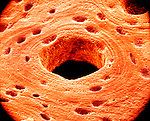 The Haversian system is viewed at an angle that allows the internal surface of the Haversian canal to be observed.  SEM X1040  **On Page Credit Required**