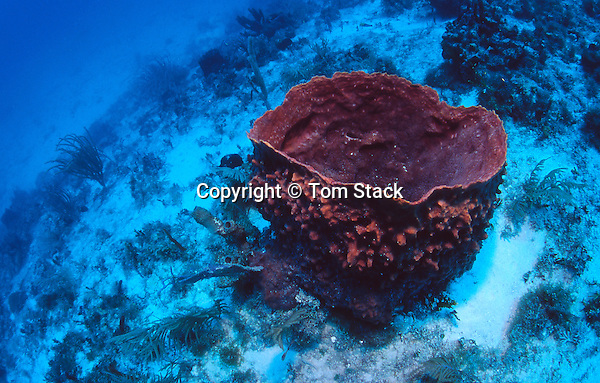 Giant Barrel Sponge, Xestospongia muta, Biscayne National Park, Florida