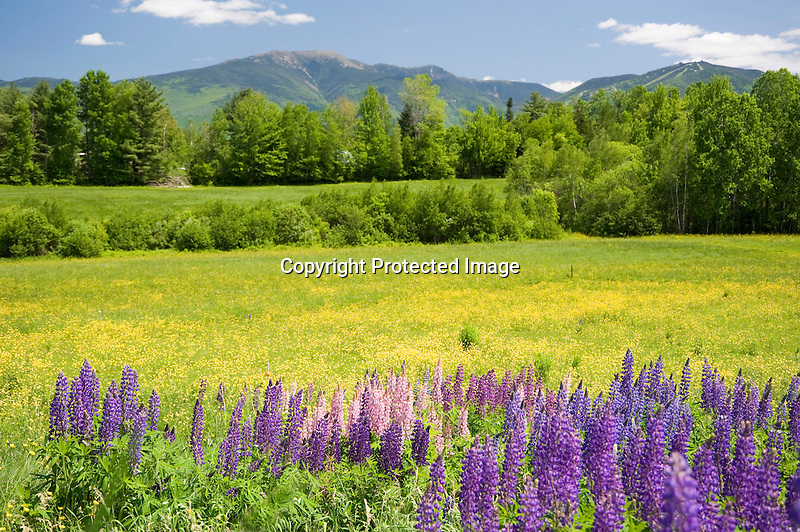 Colorful Lupines Blooming in Meadow with View of White Mountains of New Hampshire