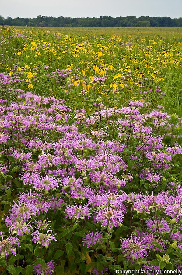 Starved Rock State Park, IL<br /> Open priairie with native prairie flowers prairie coneflower (ratibida pinnata), wild bergamot (Monarda fistulosa) and grasses