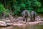 Asian elephants (Elephas maximus), Khao Yai National Park, Thailand<br />