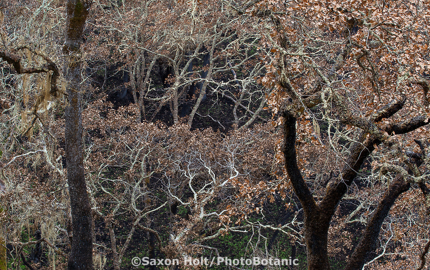 Burned Oak trees on hillside; Fire damage and recovery from Nuns fire October 2017, Sonoma Regional Park, California