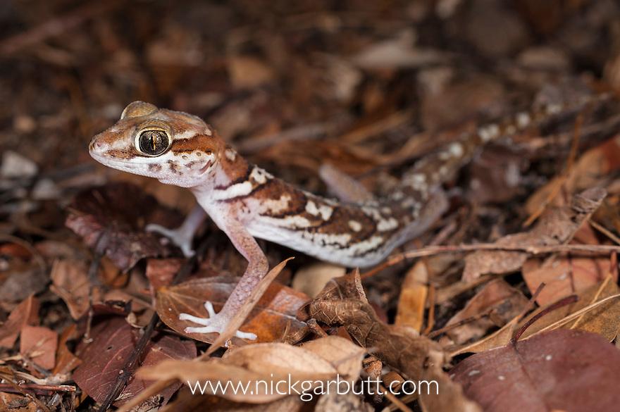 Big-headed Gecko (Paroedura picta) in leaf litter on forest floor. Kirindy, western Madagascar.