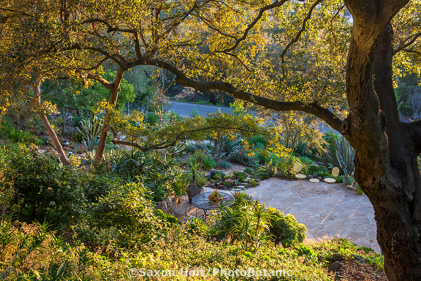 Debra Lee Baldwin backyard hillside patio succulent garden framed by Engelmann Oak (Quercus engelmannii)  tree in early morning light
