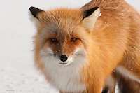 A red fox wanders the cold, winter tundra of Alaska's north slope during spring daylight hours.