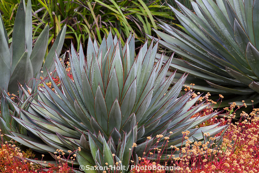 Agave 'Blue Glow' (Agave attenuata x Agave ocahui) gray foliage succulent in summer-dry garden Santa Barbara California