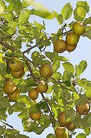 Apfel, Apfelbaum, Äpfel, Kultur-Apfel, Obst, Sorte Boskoop, Boskop, Malus domestica, Apple, Obstbaum