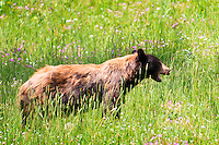 A cinnamon black bear forages near Soda Butte Creek in Yellowstone National Park.