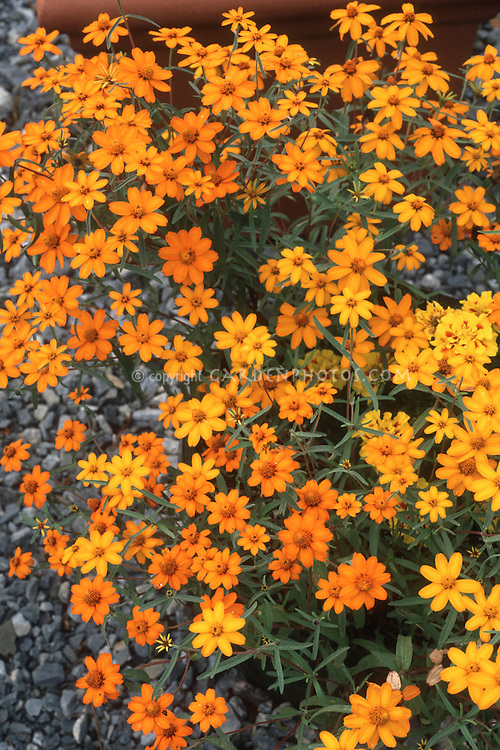 zinnia stock photos  images  plant  flower stock photography, Beautiful flower