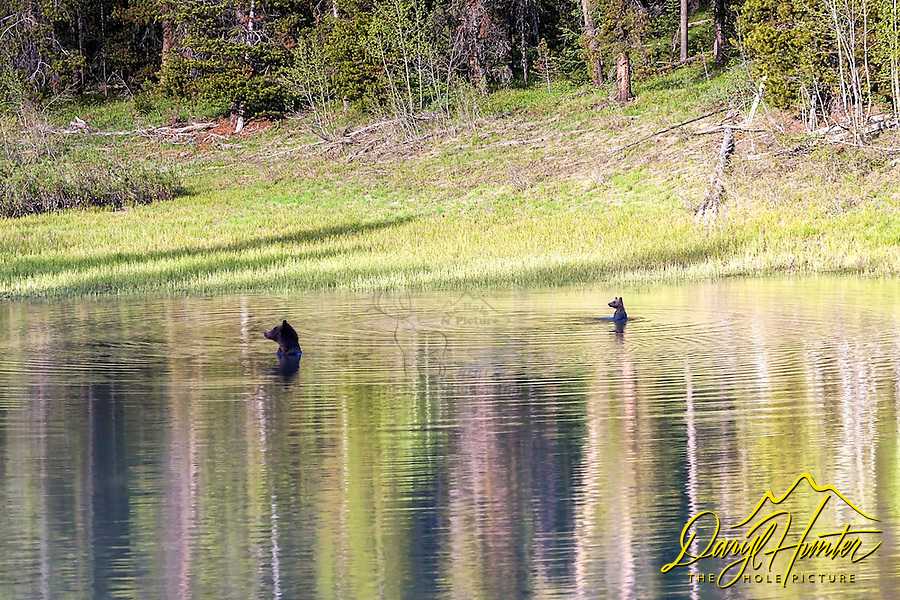 Synchronized swimming in a Grizzly Bear's World. This is the famous Grizzly Bear sow 399 and her 2016 cub of the year &quot;Snowy&quot; taking a dip in a pond in Grand Teton National Park. Grizzly 399 is known as &quot;The Lady of the Tetons&quot;. <br />