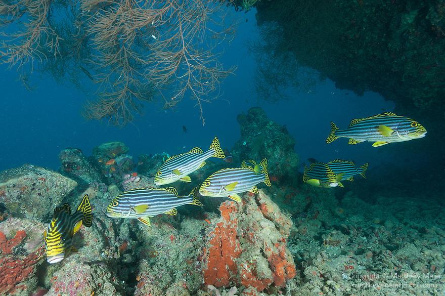 Mulak Kandu, Mulaku Atoll, Maldives; several Oriental Sweetlips (Plectorhinchus vittatus)  swimming together near the opening of an underwater cavern