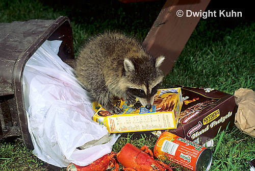 MA25-179z   Raccoon - in garbage can looking for food - Procyon lotor