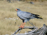 The (Southern) Pale Chanting Goshawk (Melierax canorus) is a bird of prey in the family Accipitridae. This hawk breeds in southern Africa. It is a resident species of dry, open semi-desert with 75 cm or less annual rainfall. It is commonly seen perched on roadside telephone poles.