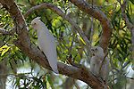 A pair of bare-eyed cockatoos, Kimberley region, Western Australia.