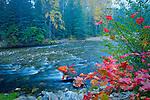 Washington, Cascade Mountains, Lake Wenatchee, Nason Creek on a foggy morning with autumn colors.