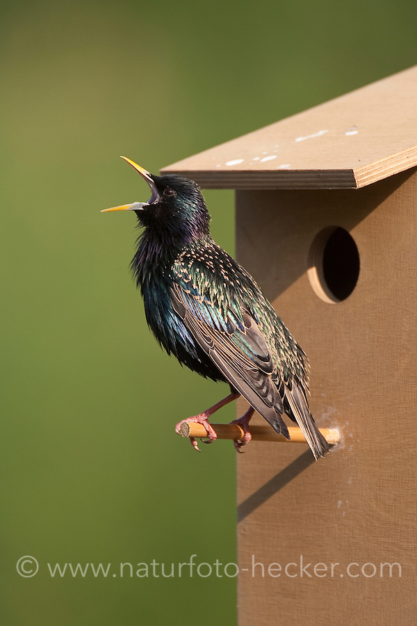 Star singend, balzend, bei der Balz am Nistkasten, Sturnus vulgaris, European starling
