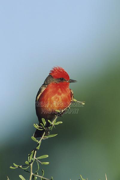 Vermillion Flycatcher (Pyrocephalus rubinus), male, Starr County, Rio Grande Valley, Texas, USA