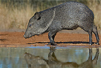 50520259 a wild javelina or collared peccary dicolyties at a pond on beto gutierrez santa clara ranch hidalgo county lower rio grande valley texas united states