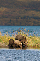 Brown bear sow and cubs along the shores of Naknek lake, Katmai National Park, Alaska.