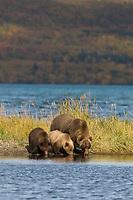 Brown bear sow and cubs along the shores of Naknek lake, Katmai National Park, Alaska.