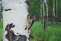 Red-naped Sapsucker, Sphyrapicus nuchalis, adult female with prey at nesting cavity in aspen tree, Rocky Mountain National Park, Colorado, USA
