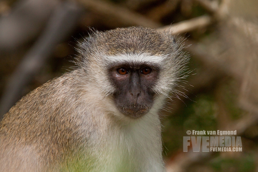 Vervet Monkey (Chlorocebus Pygerythrus)..Potrait..May, Winter 2009..Ndumo Game Reserve, Kwazulu-Natal, South Africa.