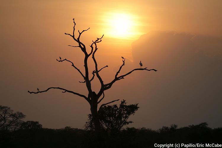 Wood Stork at dusk, Mycteria americana, Pantanal, Brazil, silhouette, sunset