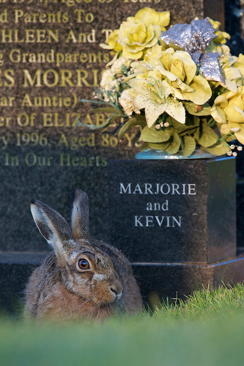 A Brown hare rests in front of a gravestone in a cemetery in England.